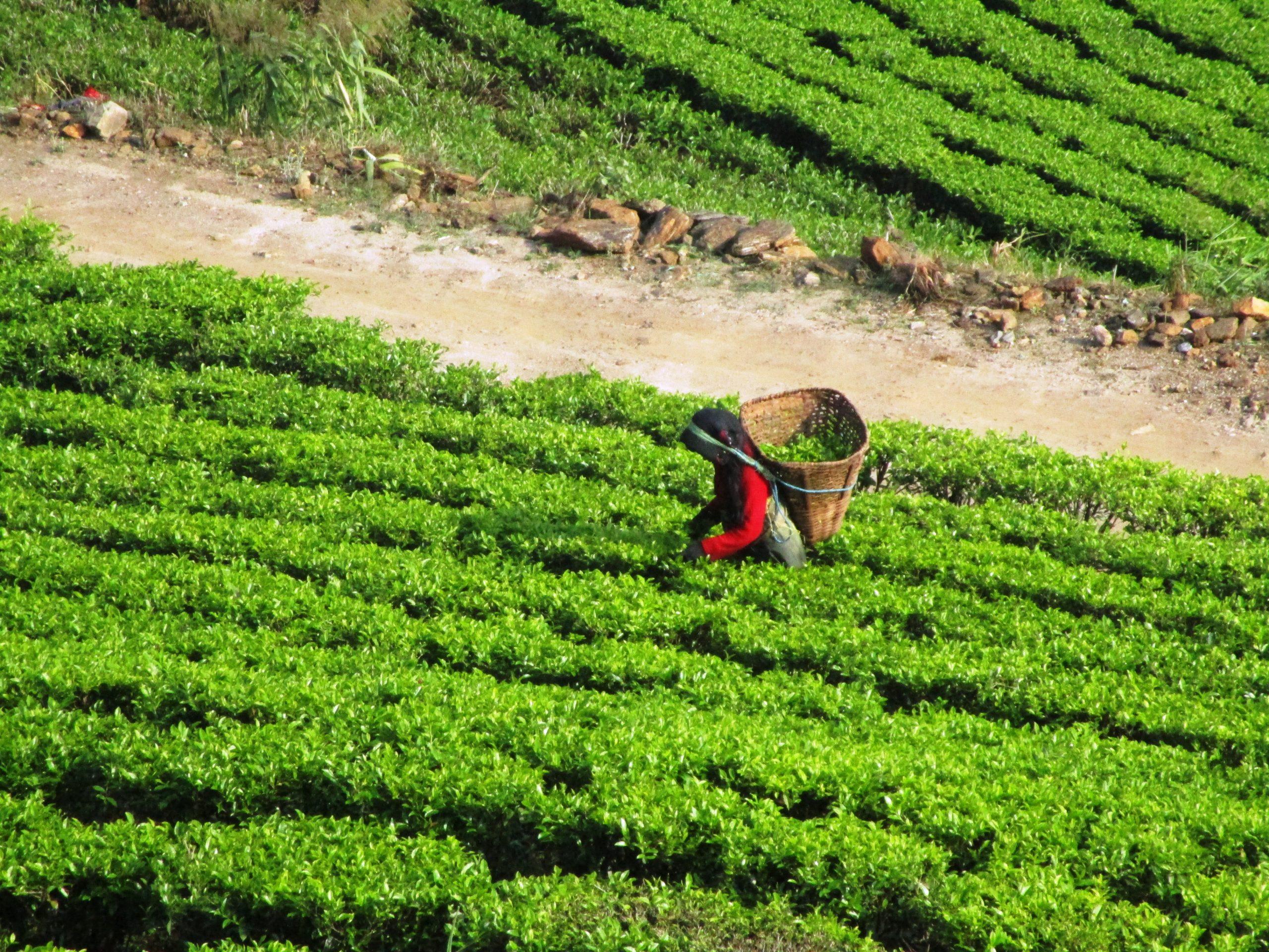 नेपाली चिया निर्यातमा भारतकाे अवराेध