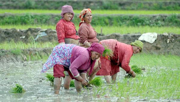नेपालमा आज राष्ट्रिय धान दिवस