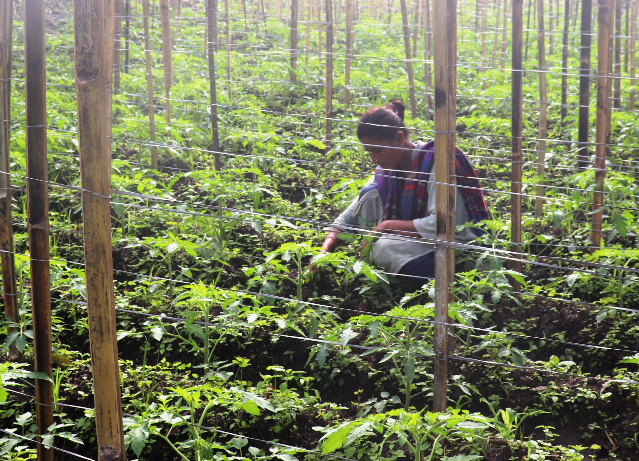 टमाटर खेतीमा रमाउँदै रमा, फल र बिरुवा बेचेर बार्षिक पाँचलाख आम्दानी